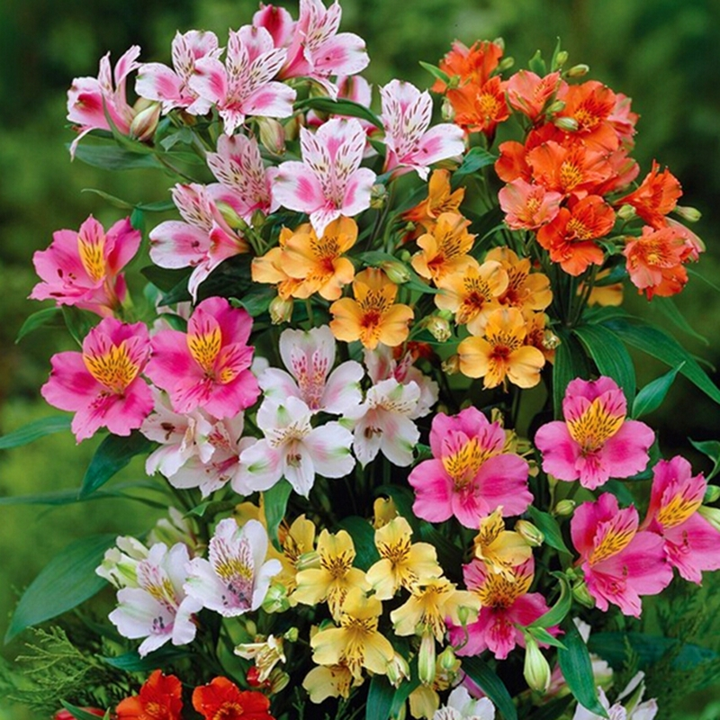 online buy wholesale alstroemeria seeds from china alstroemeria seeds wholesalers. Black Bedroom Furniture Sets. Home Design Ideas