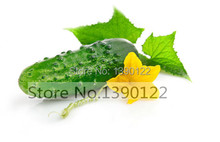 100 cucumber seeds ORZEL extremely early, Polish variety, for open soil growing vegetable seeds for home garden(China (Mainland))