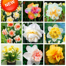 New Fresh Seeds Beautiful Narcissus Flower Balcony Plants Daffodil Seeds Absorption Radiation Narcissus Tazetta Seeds,100 Pieces(China (Mainland))