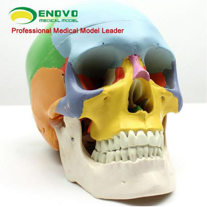 Anatomy skull model
