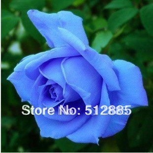 Classic Blue Rose Seeds, 200 pieces rose seeds shipping by China Post .