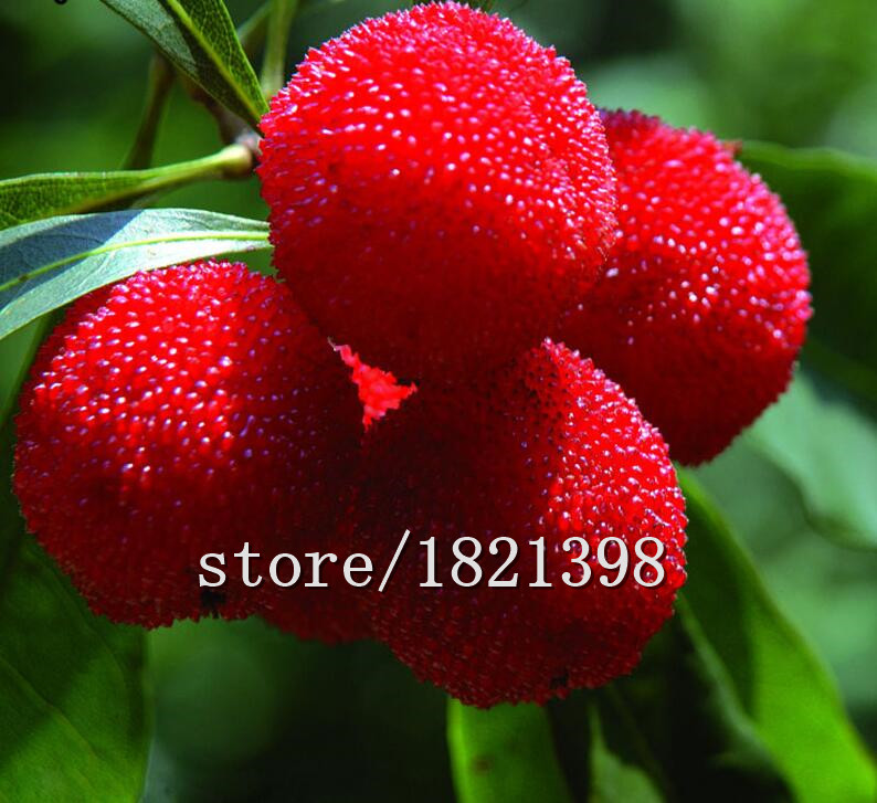 Big sale 10 Particles / Bag Arbutus Unedo Strawberry Tree Delicious Chinese Fruit Seeds For Healthy And Home Garden Easy Grow(China (Mainland))