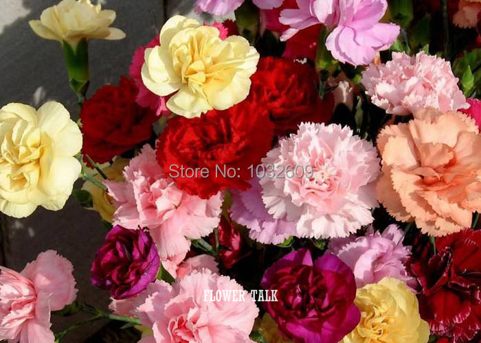 Bonsai sementes de flores 50pcs/bag Carnation seeds potted flower seed variety completelu, the budding rate 98%(China (Mainland))