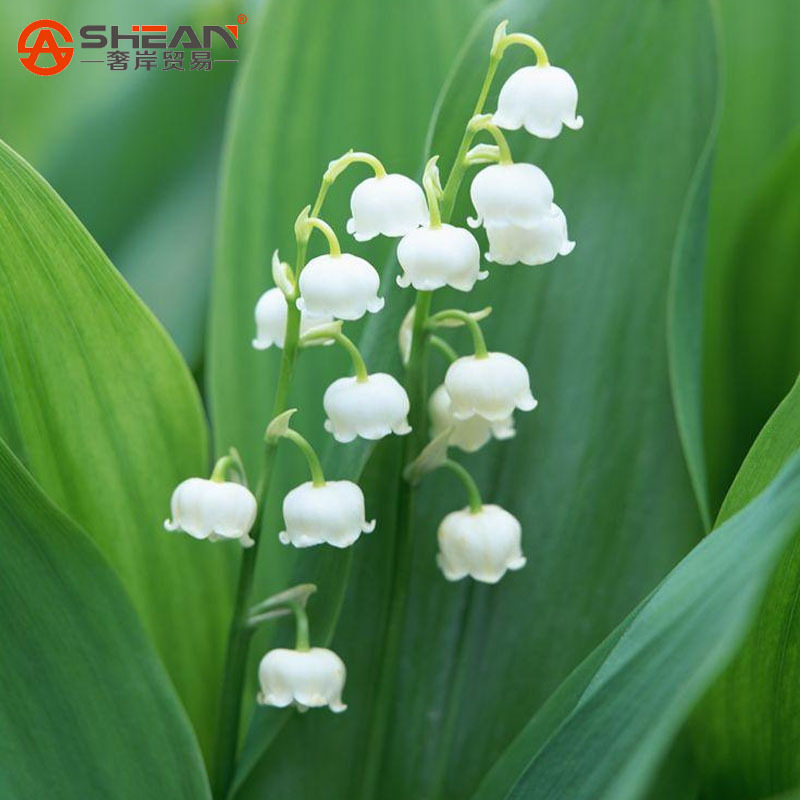 100 PCS Lily of the Valley Flower Seeds Bell Orchid Seeds Rich Aroma Bonsai Flower Seed