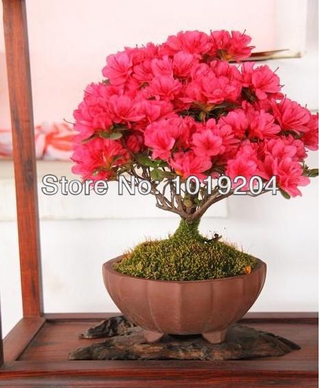Spedizione gratuita bonsai pianta in vaso di fiori rossi for Bonsai pianta