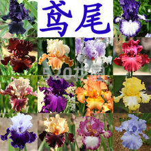 50 pcs/ bag( 21 kinds mixed), iris seeds, potted seed, flower seeds, home garden bonsai plant , LOSS PROMOTION ONLY FOR YOU