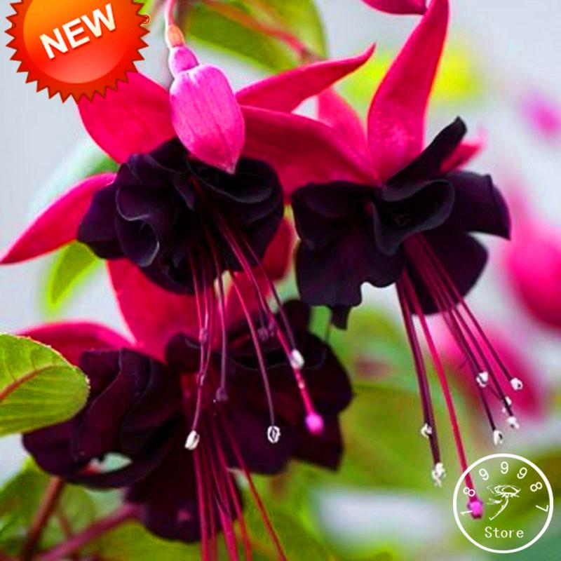 Big Sale Purple Double Petals Fuchsia Seeds Potted Flower