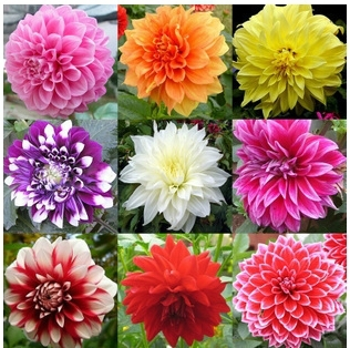 100pcs/bag Dahlias Seeds DIY Home Garden mixed loading items grass flower bulbs live indoor plants  -  yuelan song's store store
