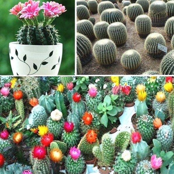 Fd943 mezcla de flor de cactus planta color cactus planta de interior semillas seed 10 unids en - Semillas de interior ...