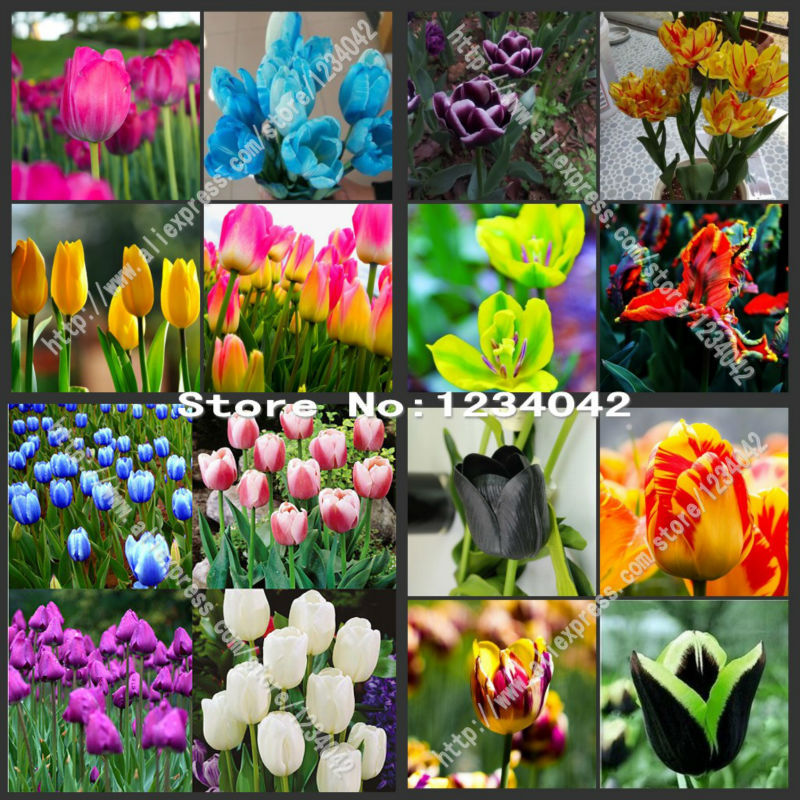 200 PC bonsai seeds, high-grade plant tulip seeds, 25 flower seed variety selection(China (Mainland))