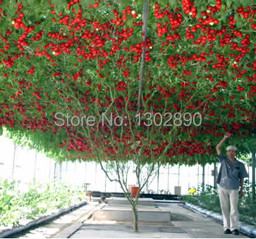 Vegetable Research Center in original packaging tomato tree seed / Academy of ornamental sweet delicious fruit(China (Mainland))