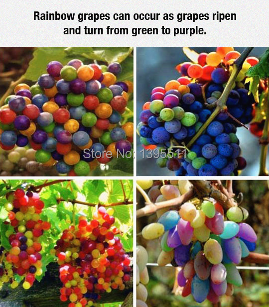 60 Pieces/Bag , Extremely Rare Fruit Seeds , Turpan Agate Colorful Grape Seeds Rainbow Grape Seeds(China (Mainland))