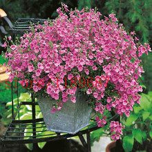 Home Garden Plant 200 Seed pink Diascia Barberae APRICOT QUEEN / PERENNIAL / CONTAINERS, GARDEN OR HANGING BASKETS(China (Mainland))