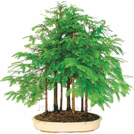 Dawn Redwood Grove -bonsai forest tree seeds Grove container DIY Garden Metasequoia glyptostroboides - 30cm high(China (Mainland))