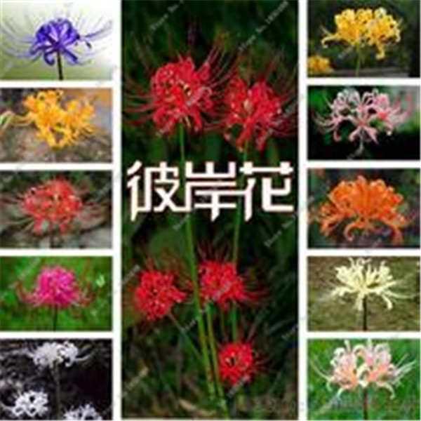 100pcs Bana flower seeds potted garden Lycoris Radiata seeds flower seeds imported seed planting seasons(China (Mainland))