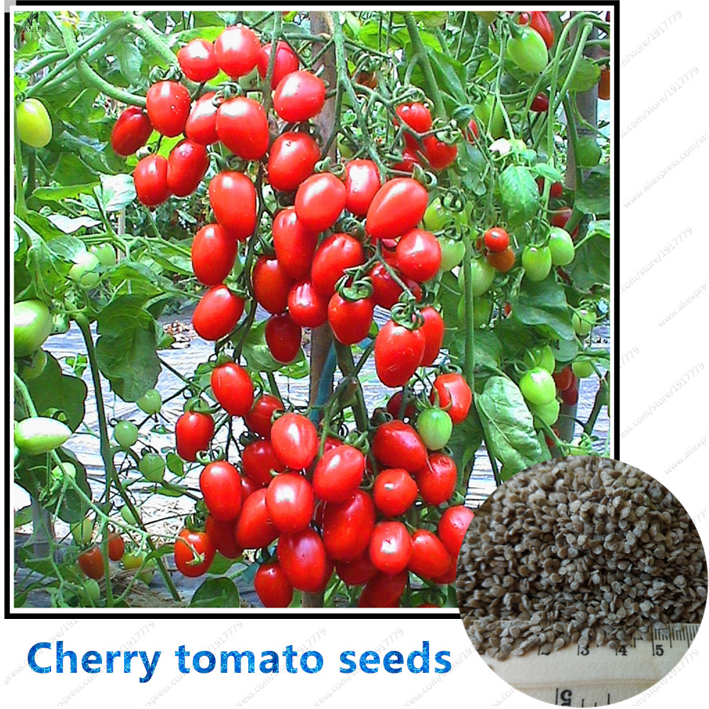 100pcs bag cherry tomato seed rare fruits seeds balcony for How to grow cherry tomatoes from seeds