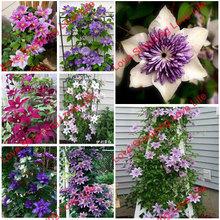 Vine Clematis potted clematis garden flowers, 50 seeds/bag