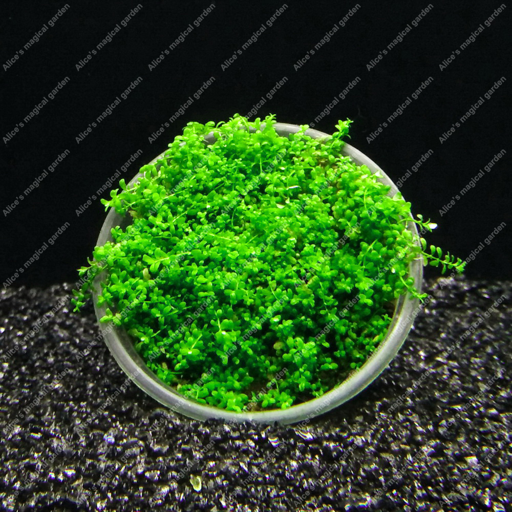 how to make aquarium plants pearl