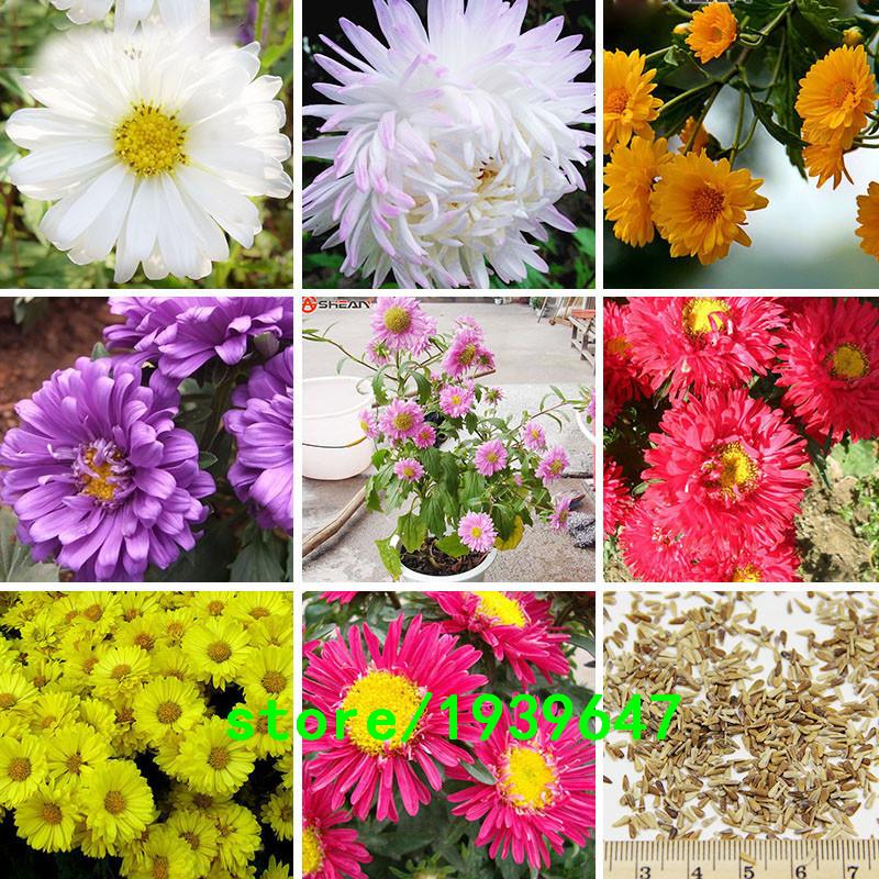 callistephus chinensis how to grow
