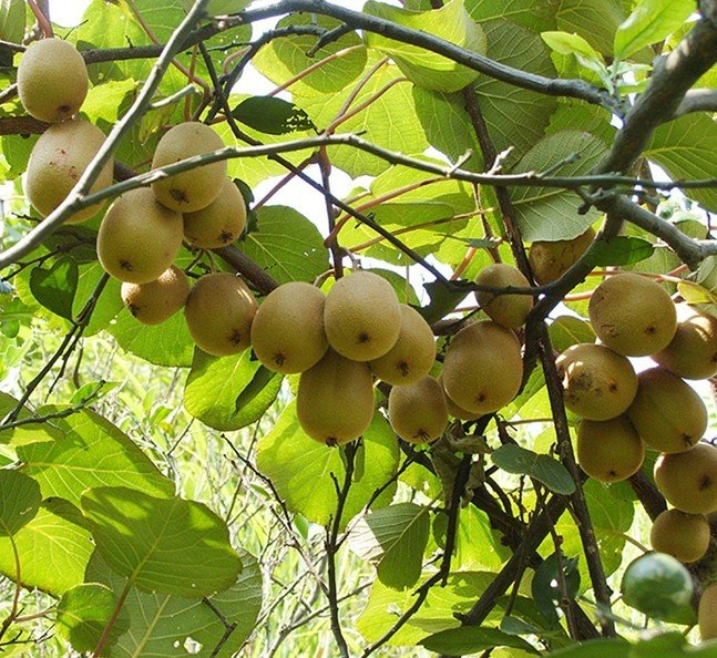 kiwi fruit tree, Beautiful flower