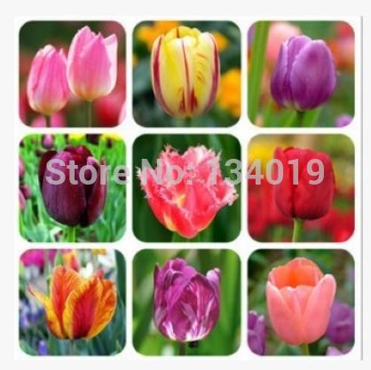 (100 pieces/lot) Tulip seeds,Tulipa gesneriana,potted plants, planting seasons, flowering plants(China (Mainland))