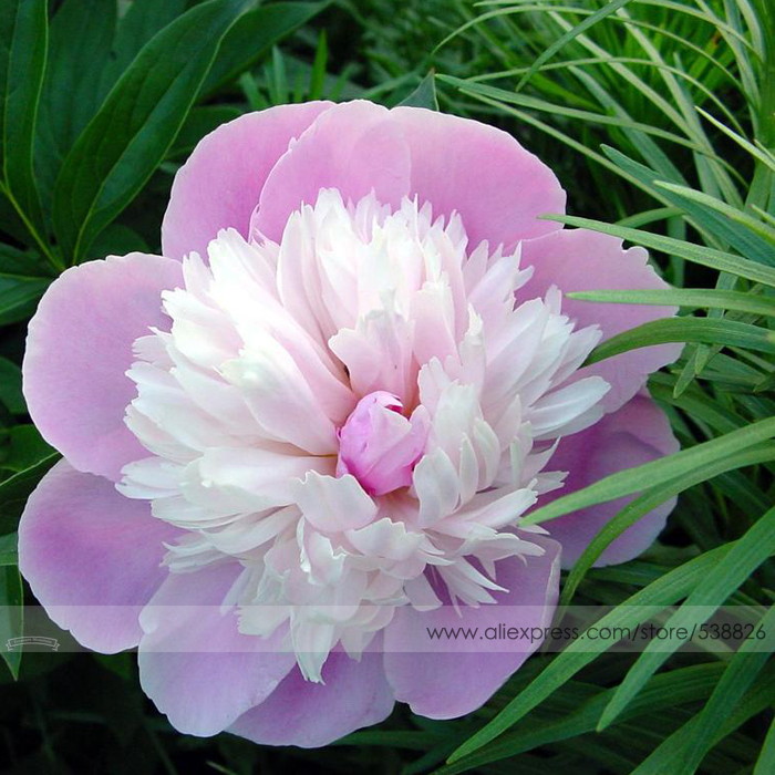 Pink and White Japanese Peony Flower Seeds, 1 Professional Pack, 5 Seeds / Pack, Rare 'Smith Lady' Tree Peony #NF555(China (Mainland))