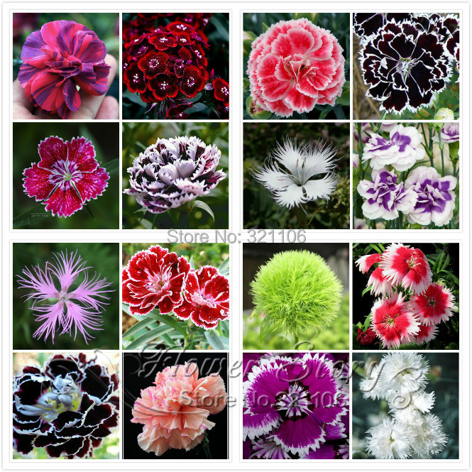 Promotion! 200 Dianthus Seeds , 16 kinds mixed packed, Sweet William flower, easy to grow ,high germination DIY garen(China (Mainland))