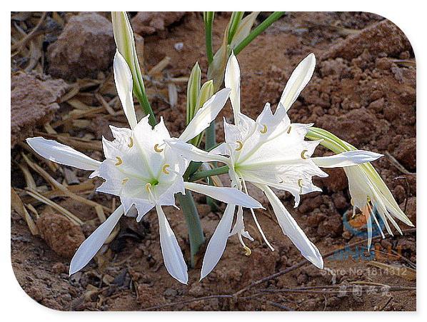 Sea Daffodil, Pancratium maritimum, 50 rare seeds, drought tolerant, loves sun, sandy soil, so very fancy!(China (Mainland))