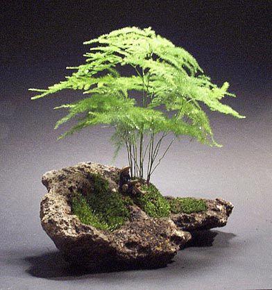 online kaufen gro handel asparagus fern plants aus china. Black Bedroom Furniture Sets. Home Design Ideas