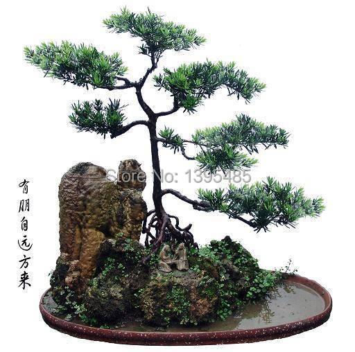 Podocarpus tree seeds yacca tree tree seed evergreen for Arbustos de jardin