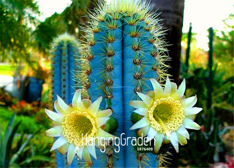 Online buy wholesale blue cactus plant from china blue for Decoration jardin cactus