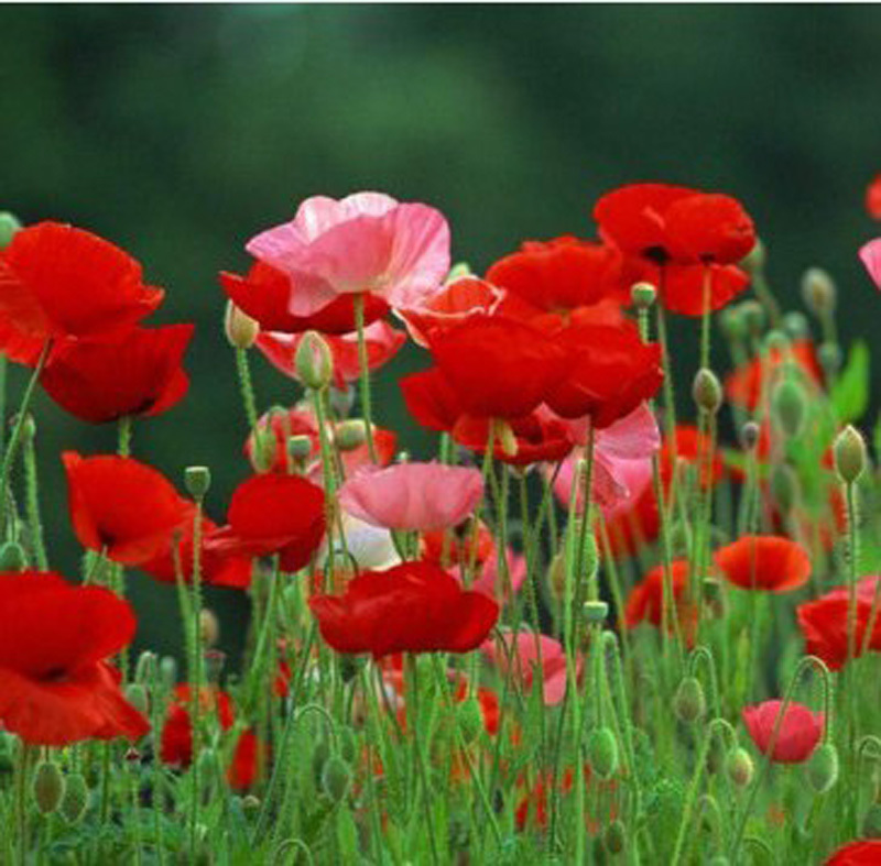 30 seeds/pack Wholesale Oriental poppy flowers, flower seeds potted flowers varieties of seed balcony Corn poppy flower seeds(China (Mainland))