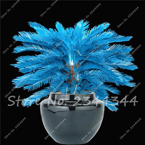 50pcs/bag Blue Cycas Seeds, Sago Palm Tree seeds. Bonsai Flower Seeds for DIY Home Garden Household Items(China (Mainland))
