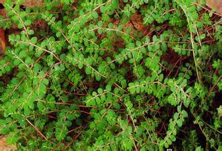 1kg natural Euphorbia humifusa extract powder Herba euphorbiae extract<br><br>Aliexpress