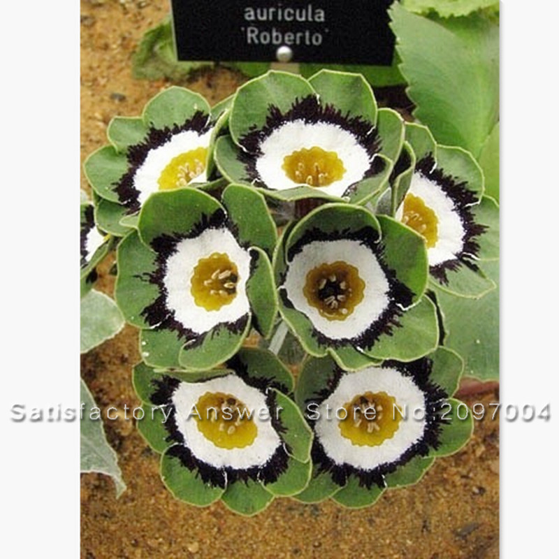 Evening Primrose Seeds Rare Seeds Aromatic Plants Potted Flowers Seeds a Balcony pack / 50 Pcs(China (Mainland))