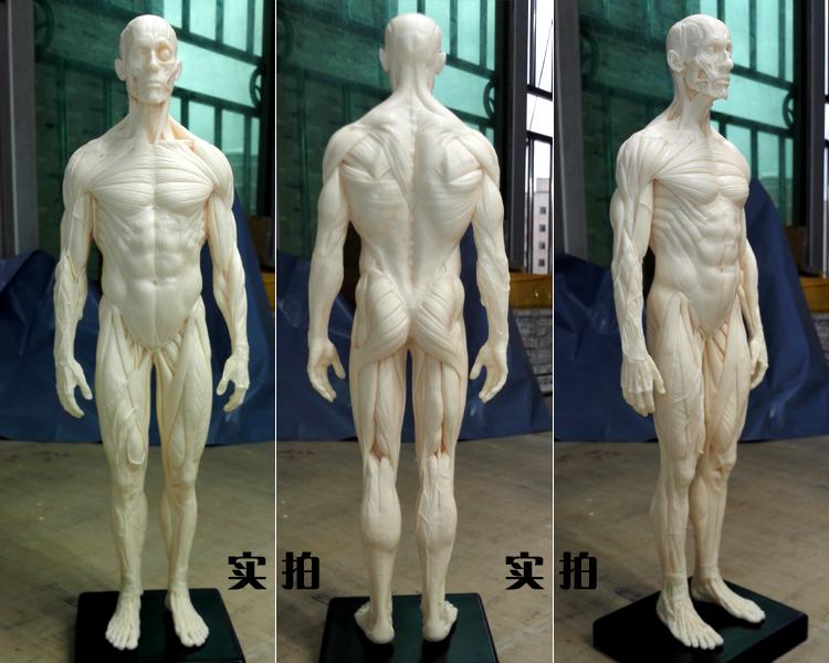 30cm PU human skeleton anatomical model Skull Head Muscle Bone Medical Artist Drawing in trauma for sale(China (Mainland))
