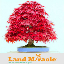 1 Pack, 20 seeds/pack, Potted Perennial Outdoor Plants Red Maple Seeds, Beatuiful American Maple Tree #M392(China (Mainland))
