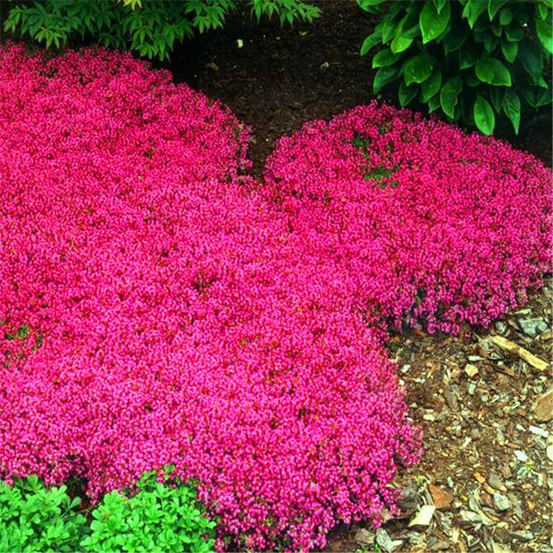 100 Mix Rock Cress,Aubrieta Cascade Purple FLOWER SEEDS,Deer Resistant Superb perennial ground cover,flower seed for home garden(China (Mainland))