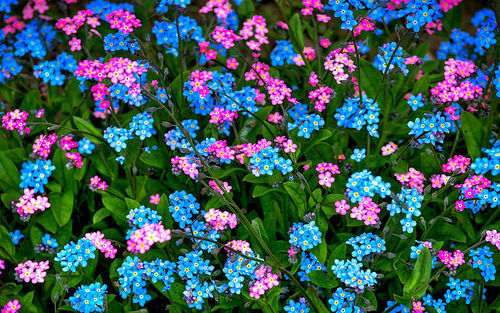 100pcs/lot   BLUE AND ROSE FORGET-ME-NOT MIXED FLOWER SEEDS / PERENNIAL(China (Mainland))