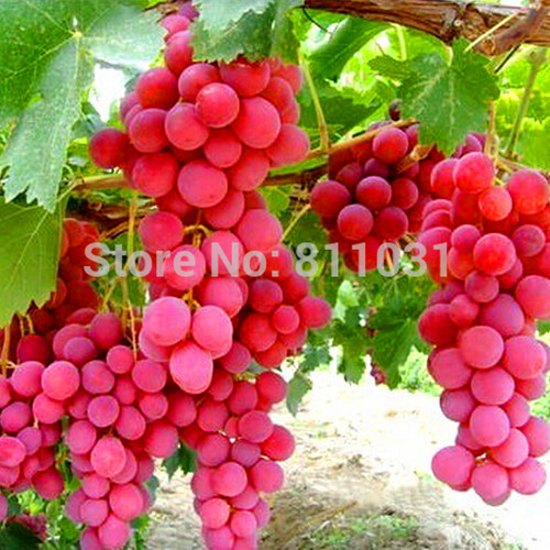 Hot Selling 20pcs/lot Rare Species Grape Seeds Giant Red Grapes Bonsai Fruit Seeds DIY Home Garden Potted Plant Fruit Tree(China (Mainland))