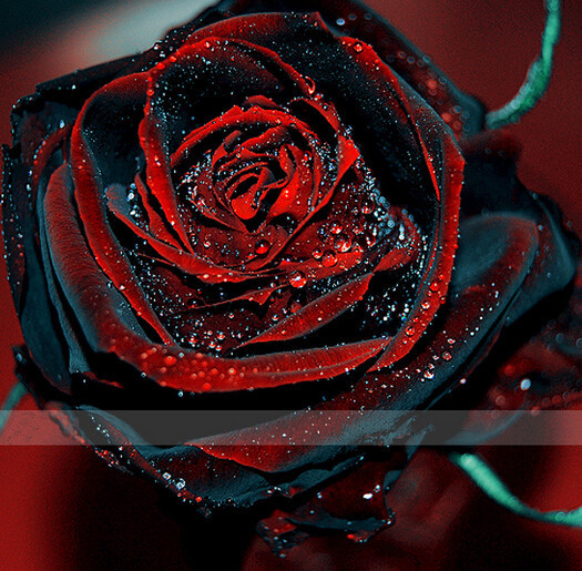 2016 new 50 Red and black Rose Seeds ,rare color ,rich aroma, DIY Home Garden Rose Plant crazy promotion-S0101(China (Mainland))
