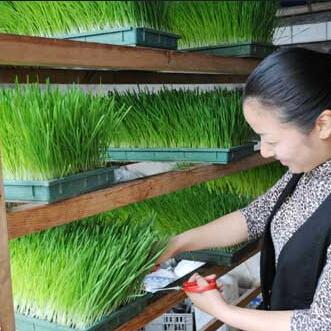 100 semillas de plantas de interior semillas de la hierba - Vitaminas para plantas de interior ...