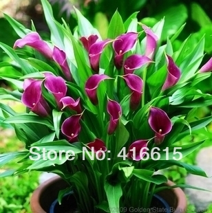 Flower plants bonsai multicolour calla lily Seeds,calla lily seed type,20Pcs,Free shipping(China (Mainland))
