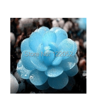 Rose modeling Tetragonia branches bunny packages succulents seed, raw stone flower, 10pcs(China (Mainland))