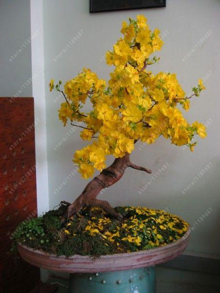 Jasmim amarelo popular buscando e comprando fornecedores for Bonsais de interior