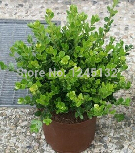 20 pcs/bag , Buxus seeds, evergreen, can be potted, air purificationfree shipping(China (Mainland))