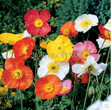 Buy 30 pcs / bag,Papaver seeds, potted seed, flower seed, variety complete, budding rate 95% free for $2.54 in AliExpress store