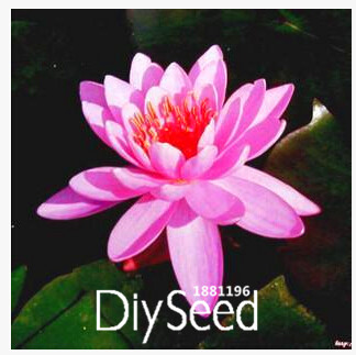 New Fresh Water Lilies seeds, water lily seeds, Bowl lotus seeds - 10 seeds/Pack,#ZY7KS6(China (Mainland))
