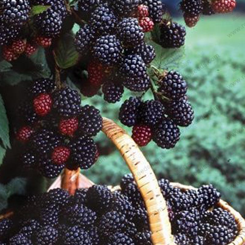 mulberry tree planting instructions
