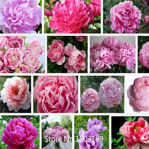Rare Pink Red Tree Peony Flower 'Feng Neng' Seeds, Professional Pack, 10Seeds / Pack, Strong Fragrant Garden Flower 6 Rare Mix C(China (Mainland))